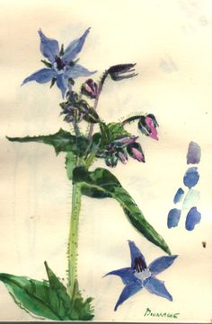 borage: wonderful edible herb and great companion plant