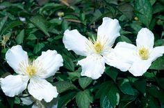 white anemone clematis
