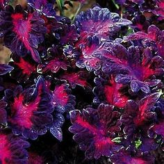 20+ Coleus Black Dragon Flower Seeds , Under The Sun Seeds