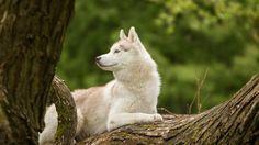 siberian husky white Husky Elvis