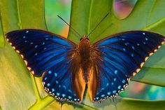 Charaxes butterfly from AfricaDarrel Gulin Photography