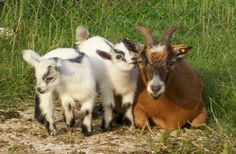 goats | ... selection of unregistered Pygmy and Nigerian Dwarf goats in the U.S