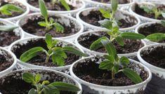 Sirop de menta preparat in casa – 7 coline Succulents, Seeds, Garden, Syrup, Plant, Garten, Lawn And Garden, Succulent Plants, Gardens