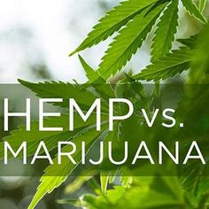 Both hemp and marijuana come from the same cannabis species. But are genetically distinct and are further distinguished by:  Use  Chemical makeup  Cultivation