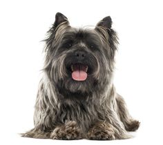 Dog Breeds Beginning with C #CairnTerrier http://www.pindoggy.com/pin/7535/