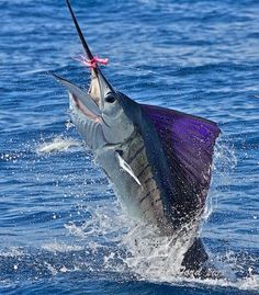 Sailfish on the fly. Incredible sailfish shots by photographer Pat Ford. Deep Sea Fishing, Gone Fishing, Fishing Reels, Fishing Tips, Salt Water Fish, Salt And Water, Offshore Fishing, Fishing Pictures, Sport Fishing