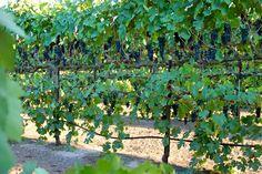 Training Grapevines   Lodi Wine Commission - Blog - Abba Vineyard turns sunlight into Syrah ...