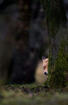 Sly little fox (by Mark Davies)