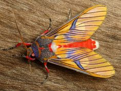 Tiger moth, Idalus sp., Arctiinae | Flickr - Photo Sharing!