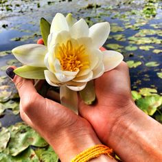 Water Lily in October from Delta Dunarii Danube Delta, Visit Romania, Succulents, October, Lily, Country, Water, Flowers, Gripe Water