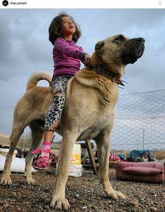 Huge Dogs, Giant Dogs, All Dogs, Alabai Dog, Kangal Dog, Anatolian Shepherd, Exotic Pets, Beautiful Cats, Mans Best Friend