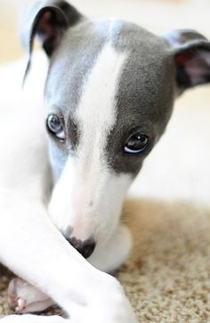 Chiot whippet