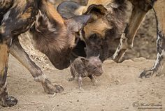 Introducing the Runt by morkelerasmus