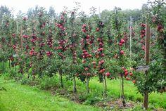 Edible Landscaping: Columnar Espalier Apple Trees | jardin potager | bauerngarten | köksträdgård