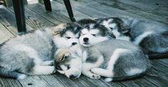 husky puppies cuddling_edited