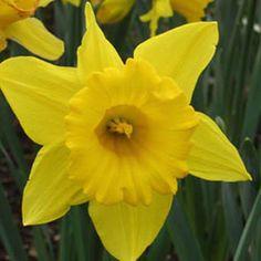 Flower Carpet    Daffodil