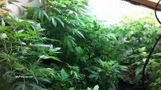 Pro Marijuana Grow Tent? Or Custom Closet Grow Box? Growing Weed Indoors 2013