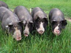 Berkshire pigs. just like mine!