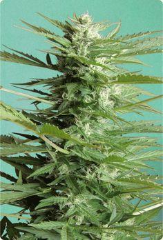 #medicalmarijuana #Marijuana