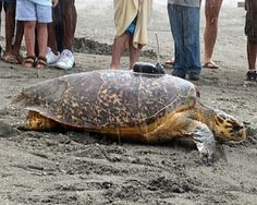Four Seasons Resort Nevis Tags and Releases First Green Sea Turtle as Part of Worldwide Conservation Program to Protect Endangered Species -- Neve