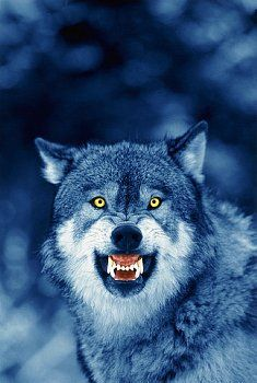 growling wolf Search Results
