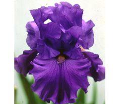 Reblooming Iris BreakersFall Shipped