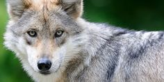 PLEASE SIGN.  Ban the use of Leg Hold, Conibear and Snare Traps in the U.S.   And, if its never occurred to you one way or another, remember that dogs, cats, and protected raptors also suffer at the jaws of leghold traps, suffering for sometimes days before the trap is checked on.