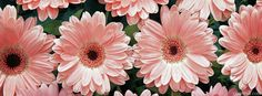 Pink Daisies Cover Photo