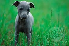 Little blue whippet!