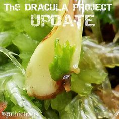 The DRACULA PROJECT  These little Dracula Venus Flytraps are on fire now as they begin to shoot of the parent leaf cutting. #gothictraps #vancouver #bc #canada #plants #carnivoroustagram #carnivorousplant #carnivorousplants #dionaea #muscipula #dionaeamuscipula #venus #flytrap #venusflytrap #vft #dracula #narcityvancouver #vancouverofficial #vancitybuzz #iamvancouver #typicalvancouver #vancityfeed #vancityhype #wearevancouver #vancouver_canada #discovervancouver #veryvancouver #vancouverize…