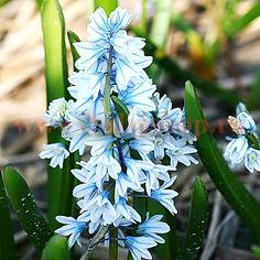 Clusters of small, pale blue flowers top each stem of this easy-to-grow flower, which is perfectly suited for rock and border gardens. Blooming in ear Garden Borders, Flower Beds, Dream Garden, Blue Flowers, Projects To Try, Bloom, Landscape, Bulbs, Cobalt