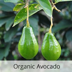 Patchouli, Vanilla, and Avocado Oil Aromatic Body Lotion