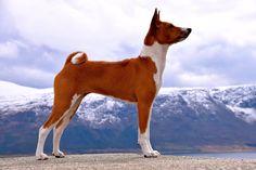 Kennel Kingwanas - Basenjis since 1998 Basenji Puppy, Purebred Dogs, African Hunting Dog, Hunting Dogs, Lucy Mae, Animals Beautiful, Cute Animals, Unique Dog Breeds, Fox Dog