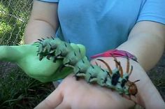The Hickory Horned Devil (Citheronia regalis) is the largest caterpillar in North America.