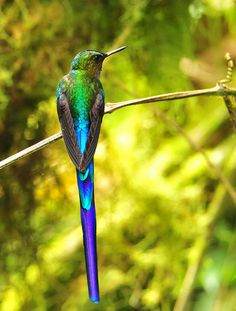 hummingbird, violet-tailed sylph - male