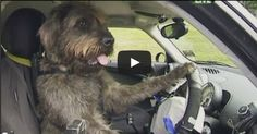 TEACHING RESCUE DOGS TO DRIVE CARS  |  This is both hilarious and fascinating. I have several videos here for you, and an article about how this crazy idea came about.... Astonishingly, it took 3 rescue mutts just 8 weeks to master the basics in wooden carts. Then they went to the real thing. This project is the brainchild of SPCA Auckland CEO Christine Kalin & famous animal trainer Mark Vette. The real purpose is to show people how smart dogs really are and make them more desirable for adoption