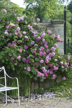 One of the first and best of the New English roses, 'Constance Spry' is a lovely climber with a powerful fragrance. Ideal for a large obelisk, pergola or archway too.