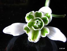 Snowdrop. January flower.
