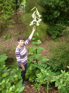 Alan Jolliffe: Cardiocrinum giganteum - Giant Himalayan Lily