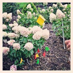 This hydrangea has my vote : in @pup1951 #garden #gwmediaday