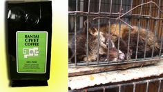 Retailers assure their customers that the coffee is collected from wild civet cats, which run free in the jungle and are not harmed in any way. However, a secret investigation carried out by the BBC in Indonesia exposes the truth-- civet cats are captured and held in tiny, filthy cages. They can barely have room to climb or even turn around.                The newest craze on the coffee market is the product called 'civet cat coffee' or 'kopi luwak coffee'.   The craze ...