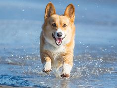 500 Corgis Meet Up for an Adorable Beach Playdate http://www.peoplepets.com/people/pets/article/0,,20915055,00.html
