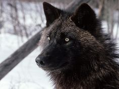 snarling wolf - Google 검색