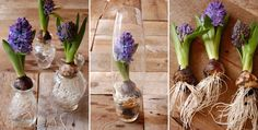 Вырастить гиацинт в вазе с водой Glass Vase, Garden, Roses, Home Decor, Decoration Home, Pink, Room Decor, Lawn And Garden, Gardens