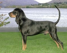 black and tan coonhound photo | Black and Tan Coonhound - Black and Tan Coonhound - Dog Breeds