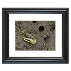 Fiddler Crab  Traditional Wildlife Photography Wall Art Prints and Limited Edition Fine Art Prints by nature and landscape photographer Melissa Fague.   Prints are available at: www.pipafineart.com.   We would love for you to follow us at: @pipafineart   #walldecor #wallhanging #homeaccessories #homedecore #wallart #photographyart #photographyartwork #photographywallart #Animalart #wildlifewallart #wildanimals #artwildlife #crab #fiddlercrab
