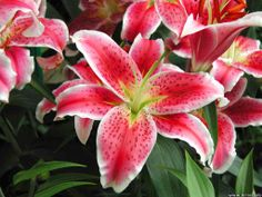 Love Tiger Lilies such a beautiful flower!!