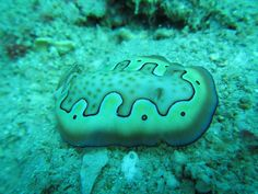 How cool is this little critter our Fiji team discovered during a dive session?  #gvi #volunteer #underthesea #nudibranch