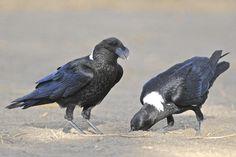 White-necked Raven (Corvus albicollis) Africa