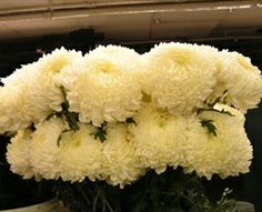 18 best white mums images on pinterest white mums chrysanthemum commercial mum white disbudsmums chrysanthemum flowers by category mightylinksfo